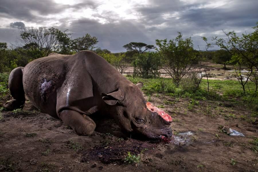 """La guerre des rhinos / Brent Stirton (Afrique du Sud), grand prix """"photojournaliste animalier : photo de l'année"""""""