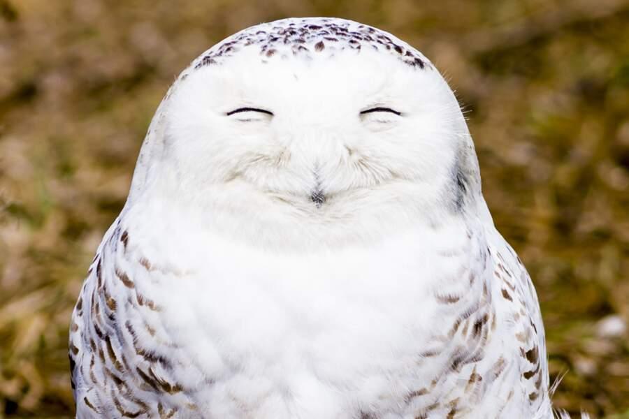 """D'où l'expression bien connue : """"Heureux comme un harfang des neiges"""" (Ontario, Canada)"""