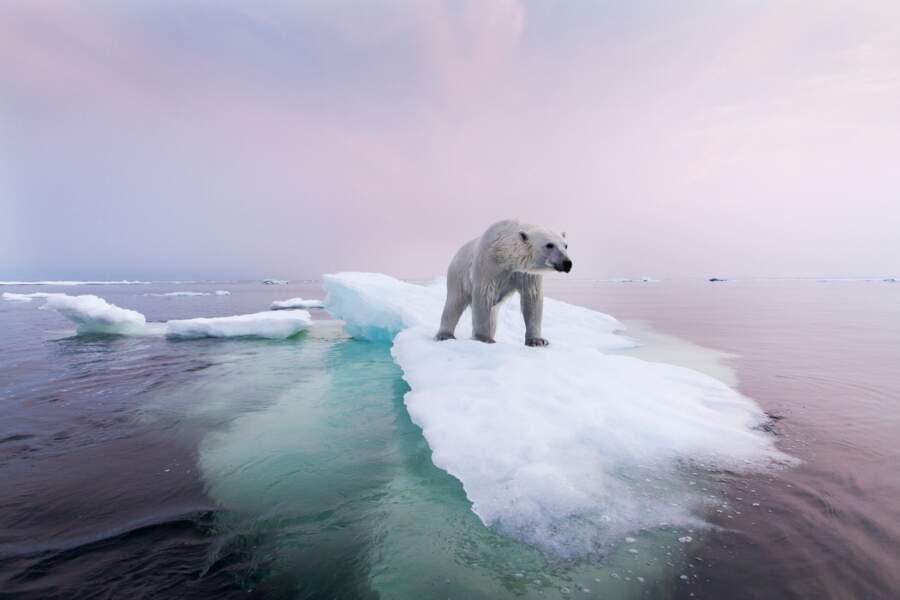 Fonte de la banquise, la survie de l'ours polaire tient à une fine couche de glace