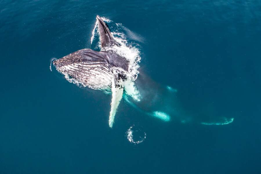 Baleine à bosse se nourrissant de krill