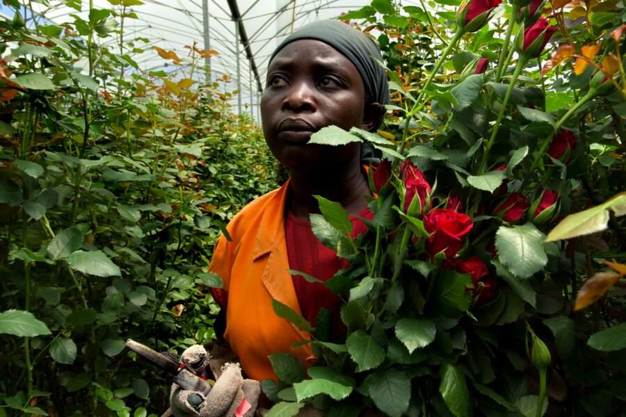 Au Kenya, l'empire de la rose