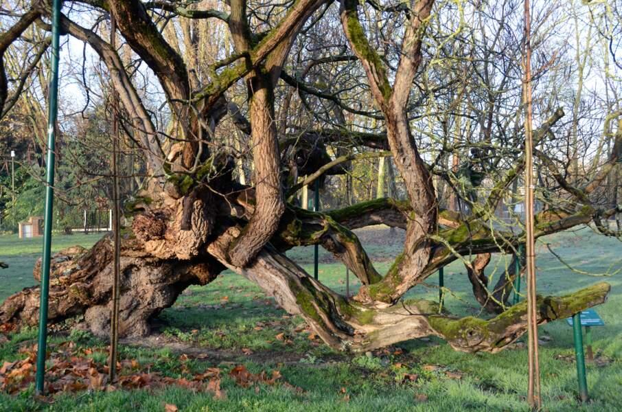 Le catalpa de Gournay-sur-Marne, le vieillard à béquilles