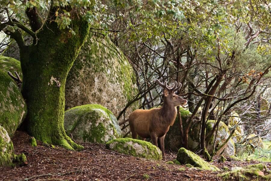 Les cerfs de retour en Corse
