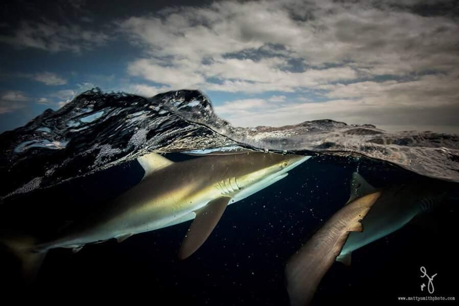 Requins soyeux dans l'archipel cubain des Jardines de la Reina