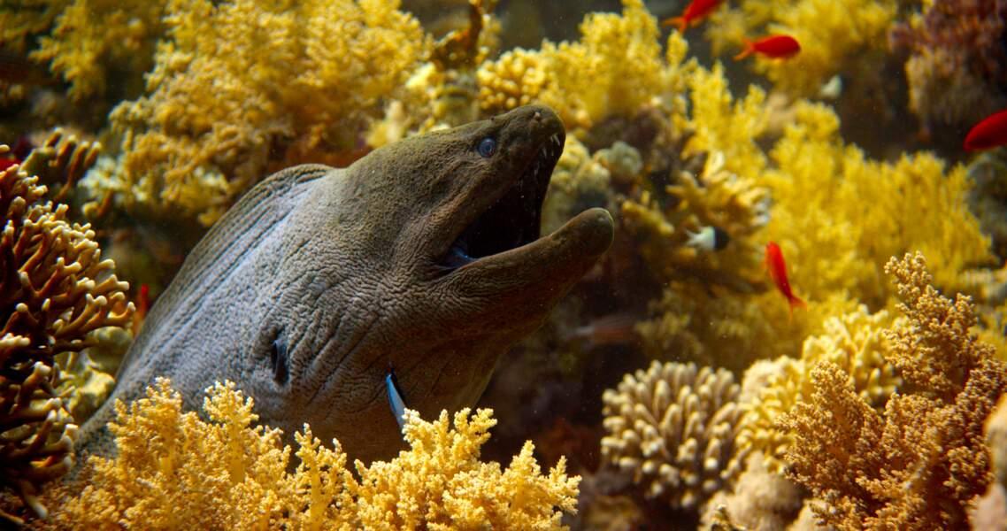 Murène Muraenidae / Mer Rouge, Egypte