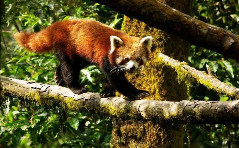 Panda roux à Darjeeling, en Inde