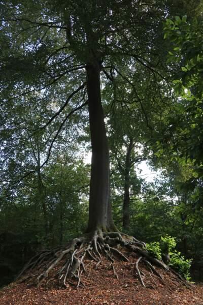 Belgique : l'arbre de la vierge de Lummen