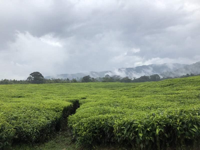 Les champs de thé à l'ouest du Rwanda