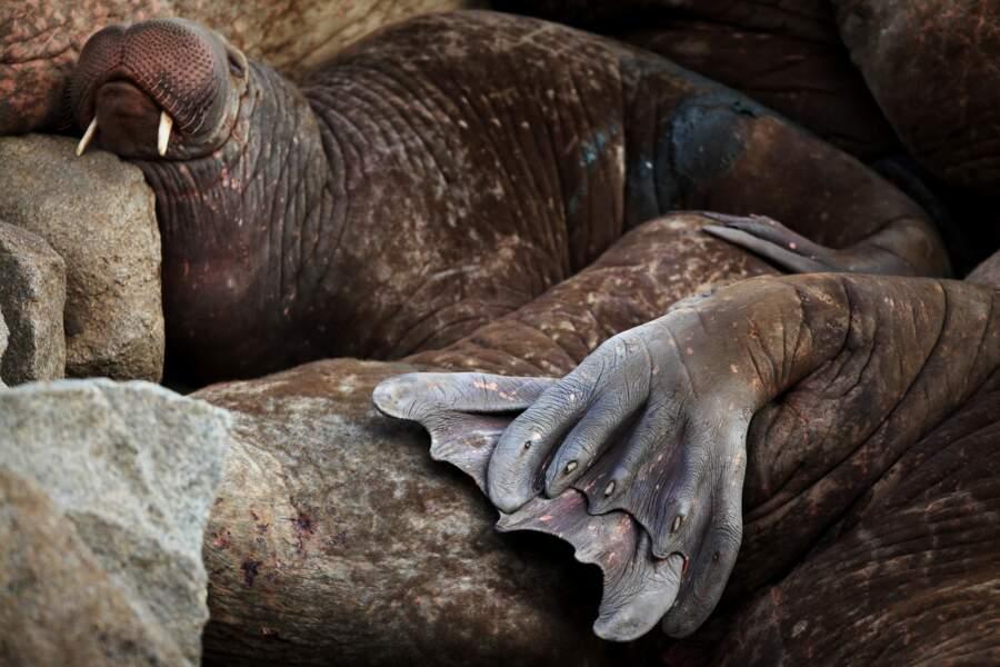 Un corps obèse pourvu de nageoires naines