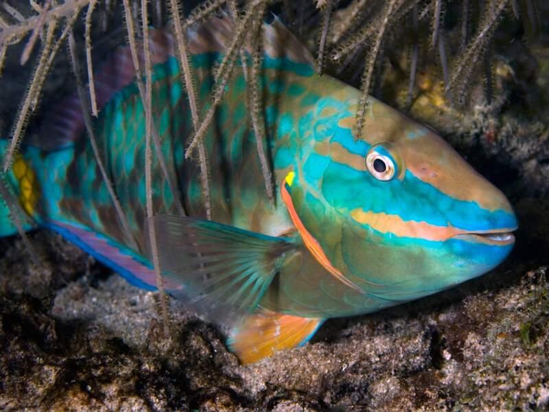 Le poisson-perroquet
