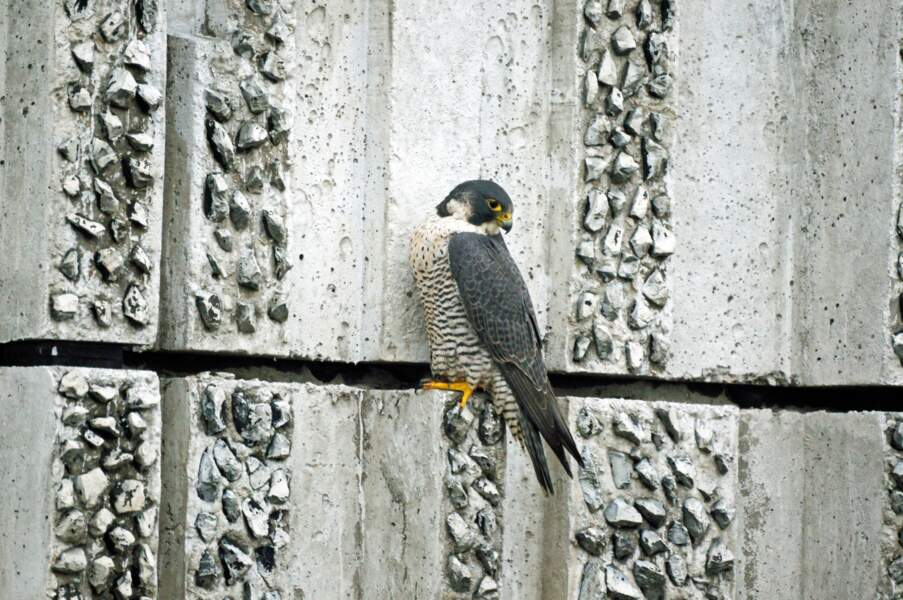 Le faucon pèlerin, un rapace à la mode parisienne