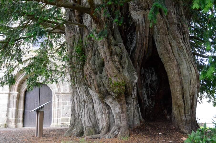 L'if millénaire de Saint-Ursin, un tronc creux salvateur
