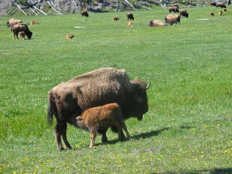 Bisons des plaines