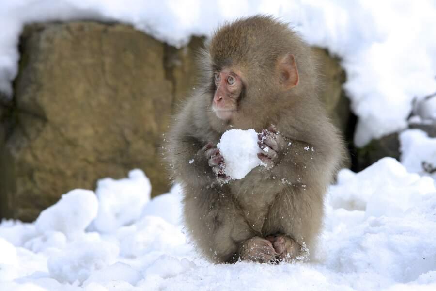 """""""Si tu embêtes trop le macaque, à la boule de neige il t'attaque"""", proverbe japonais"""