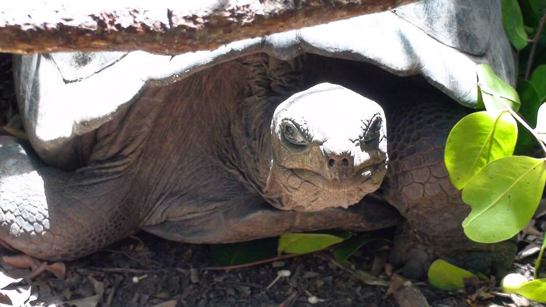 Les tortues géantes des Seychelles