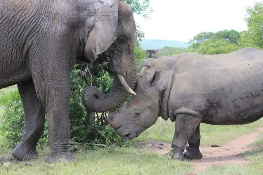 Rencontre entre un rhinocéros et un éléphant