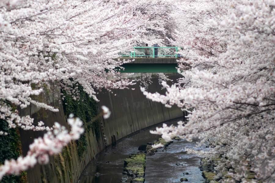 Le cerisier du Japon