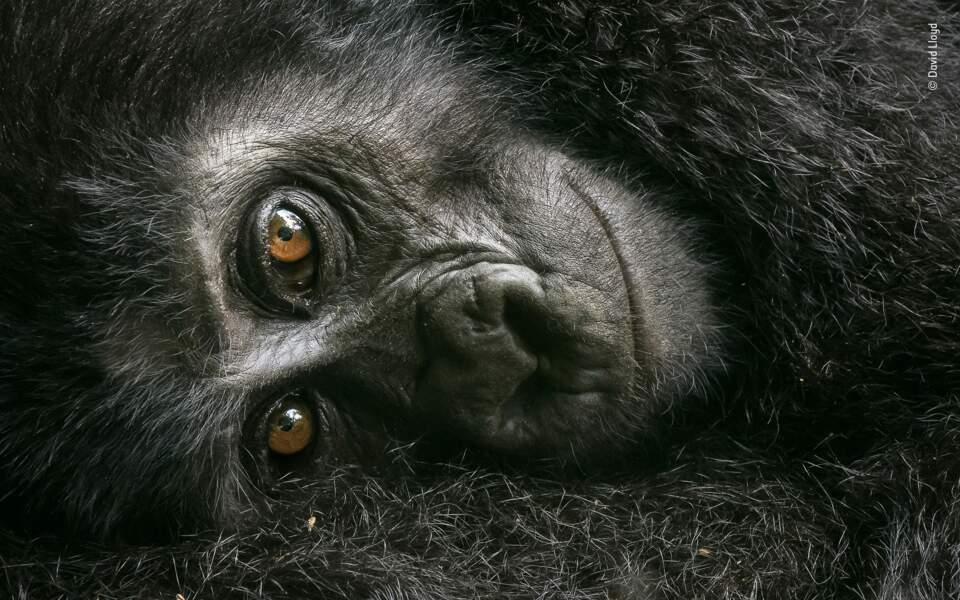 Gorille des montagnes au repos