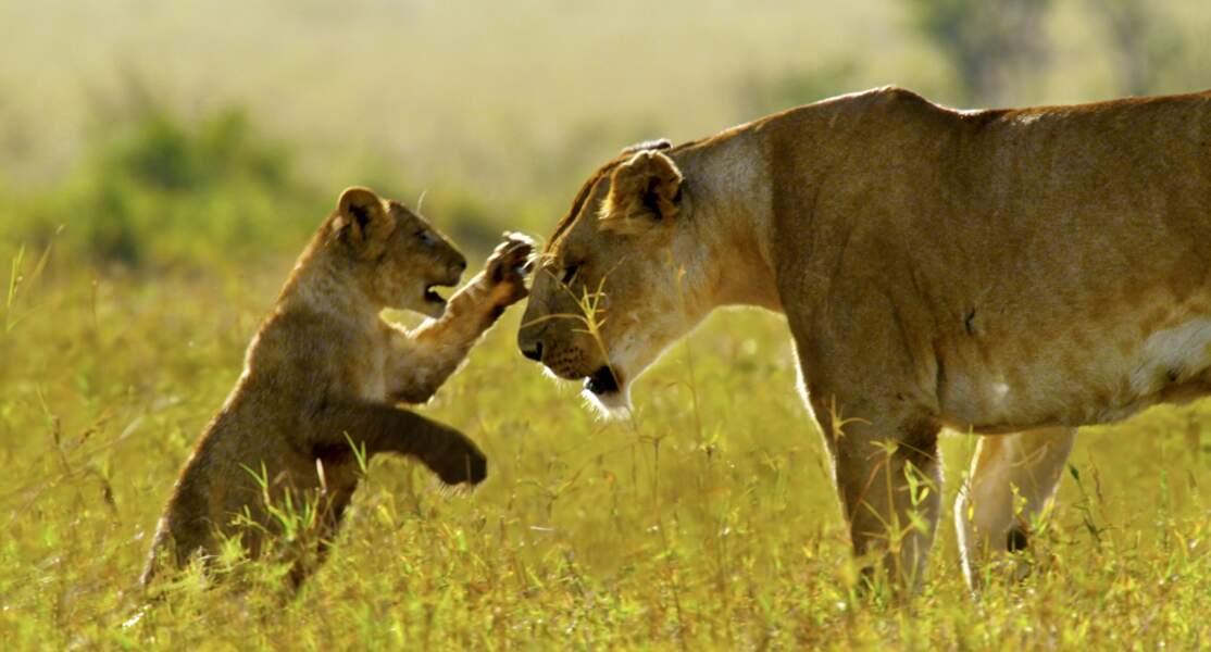 Lions / Masai Mara, Kenya