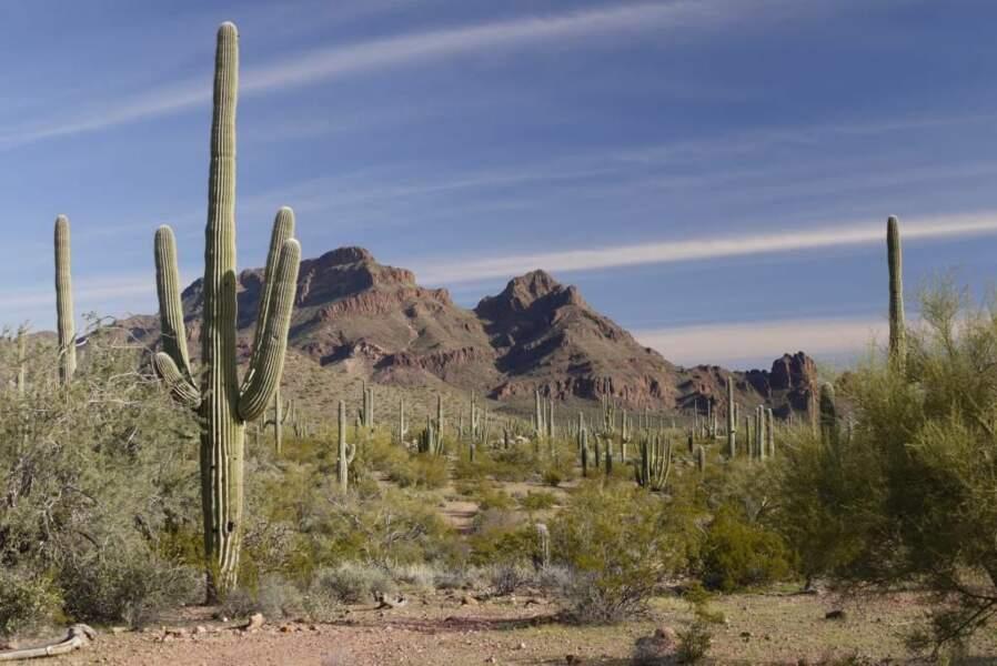 Cactus d'Arizona