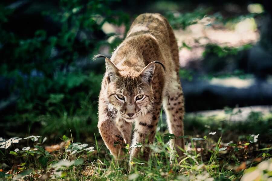 Lynx des Vosges, SOS disparition