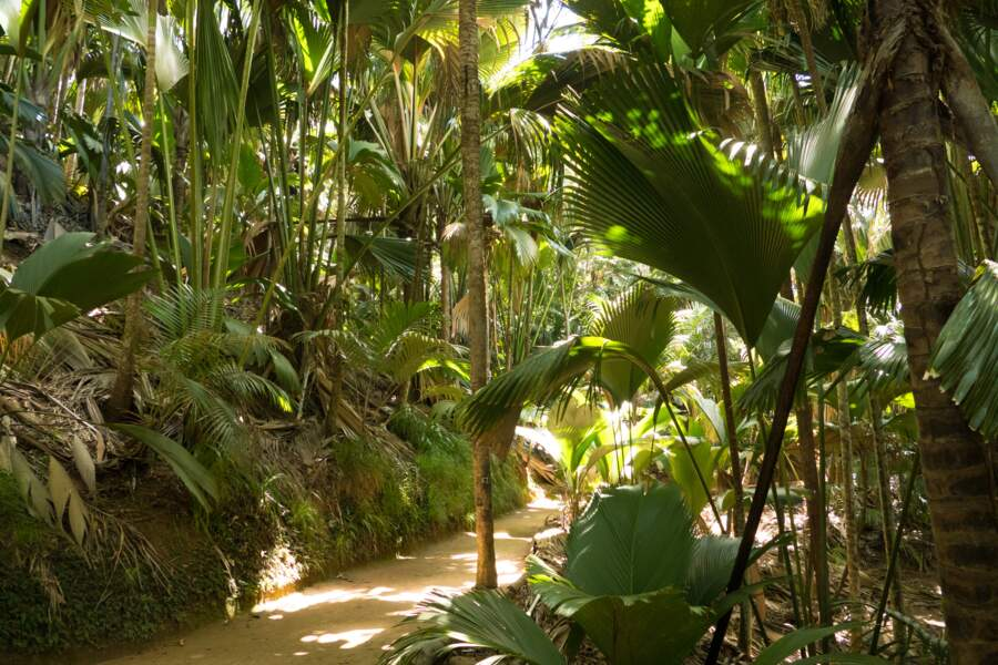 Les forêts de cocotiers de la Vallée de Mai