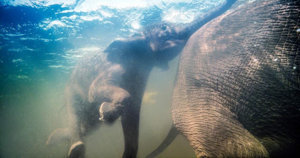Eléphants d'Afrique / Delta de l'Okavango, Botswana