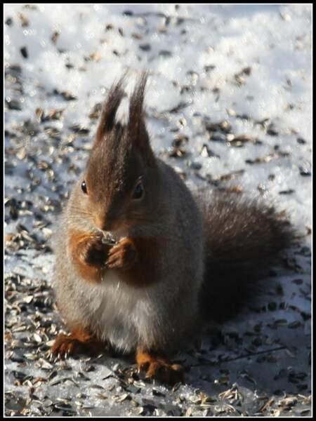 Graines de tounesol pour écureuil en Suède, par Siv Domei j/ Communauté GEO