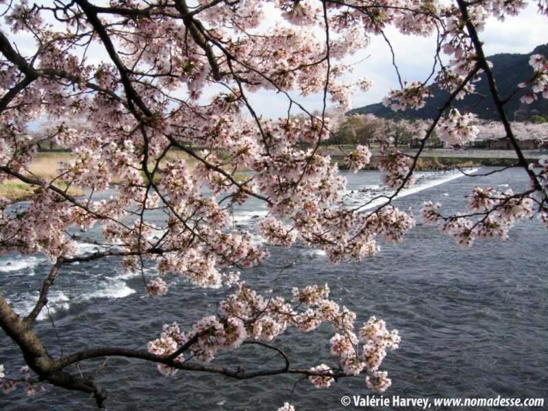 Cerisiers à Arashiyama, Kyoto