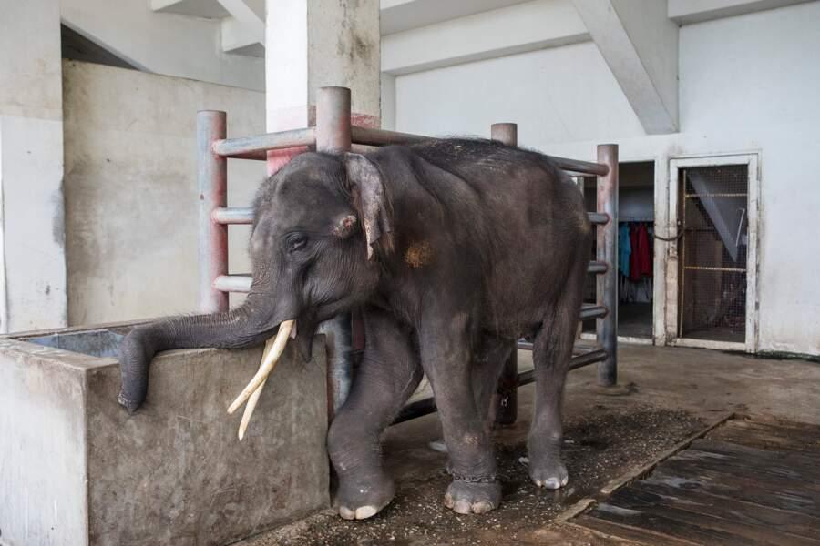 Heureux dénouement pour Gluay Hom l'éléphant