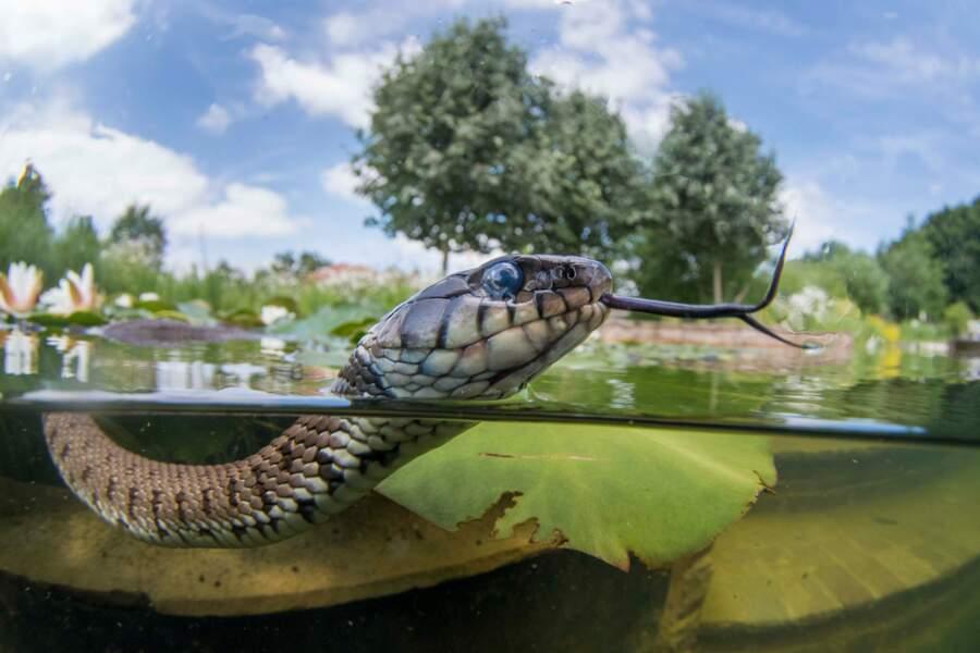 Couleuvre dans un étang de jardin