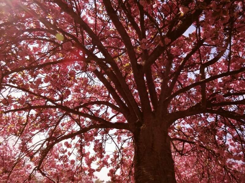 Cerisier en fleurs dans le parc de Sceaux