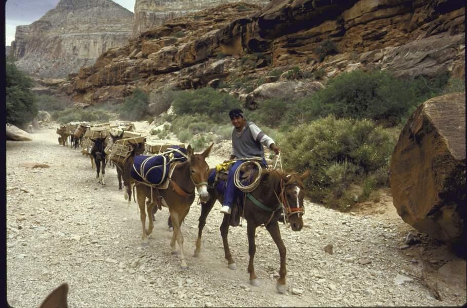 7 - Dans le Grand Canyon, on distribue encore le courrier à dos de mules