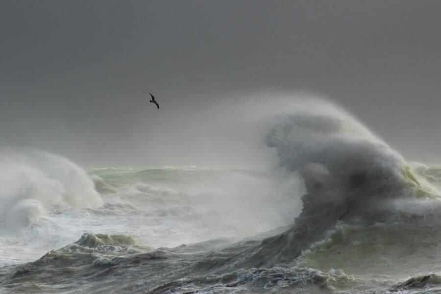 Goéland de tempête