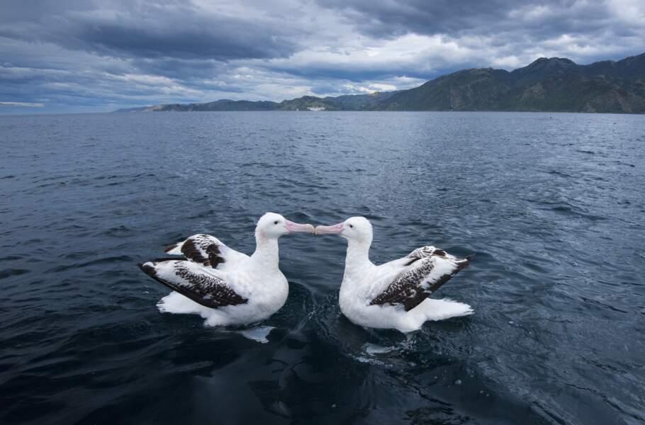 Les albatros hurleurs