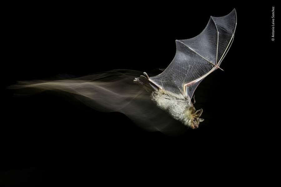 Le sillage de la chauve-souris