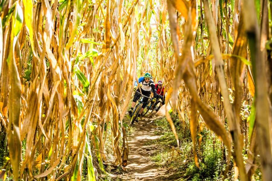 Zigzag entre les épis de maïs