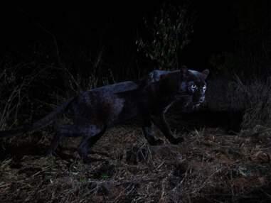 Au Kenya, d'exceptionnelles images d'un léopard noir