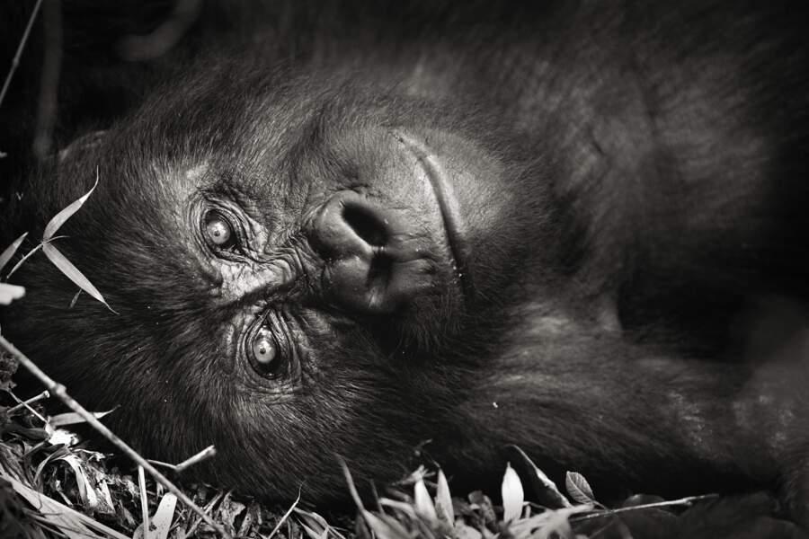 Gorille des montagnes par Sébastien Meys
