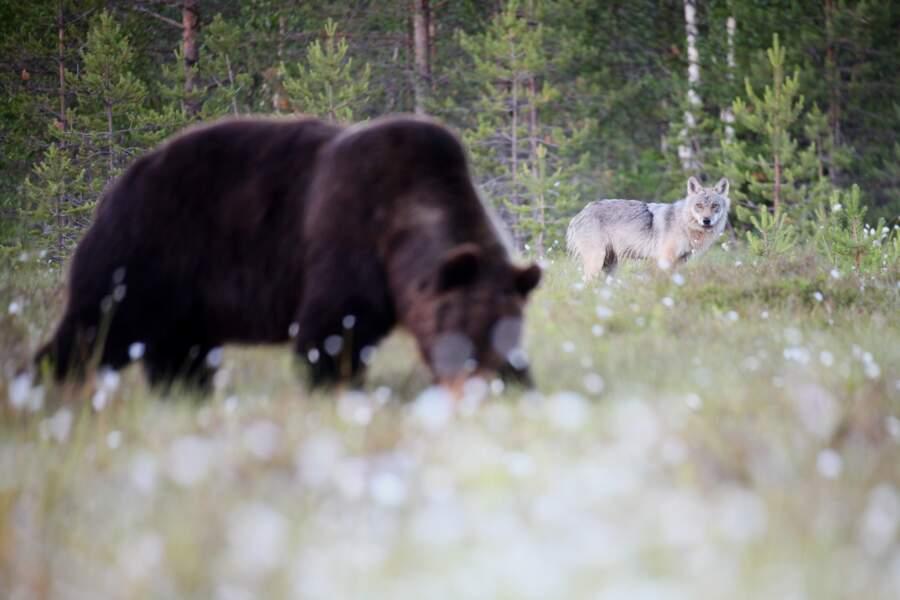 Ours brun et loup gris par Laurent Cocherel