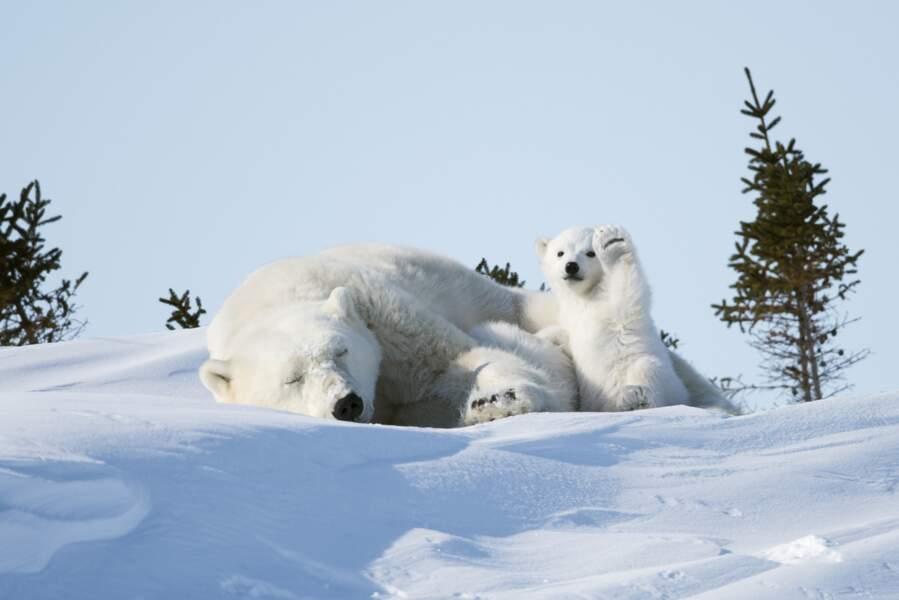 """Petit, petit ours blanc, c'est un gentil chenapan (Manitoba, Canada, spéciale dédicace à """"Petit Ours Brun"""")"""