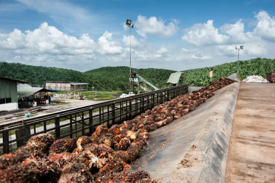 Grappes qui seront transformées en huile de palme