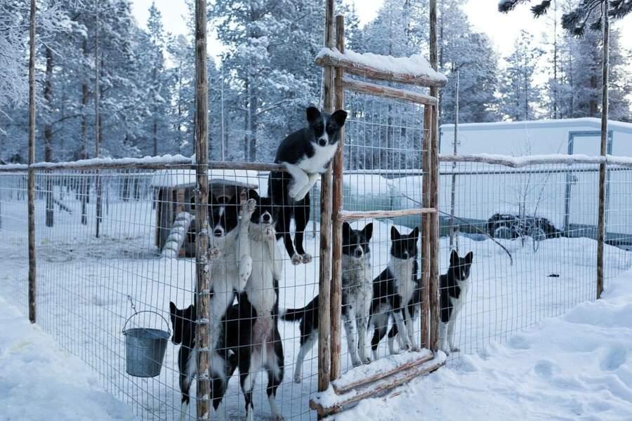 De jeunes huskies escaladent leur enclos alors que Tinja passe à proximité