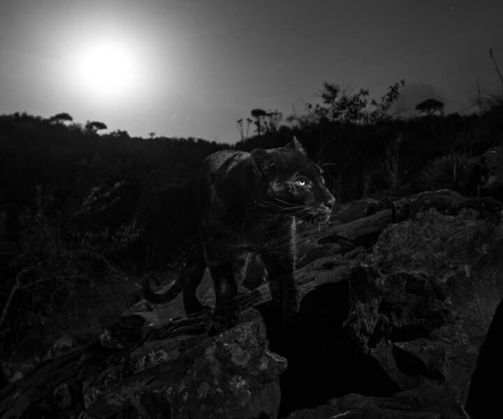Léopard noir sous la pleine lune