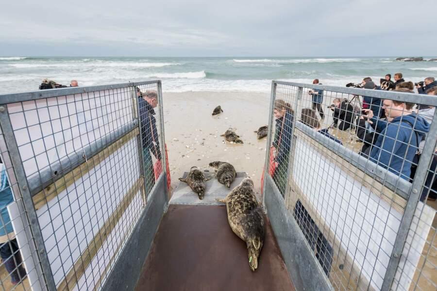 Des phoques gris remis en liberté