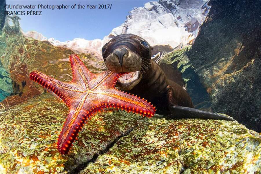 Jeune lion de mer jouant avec une étoile de mer