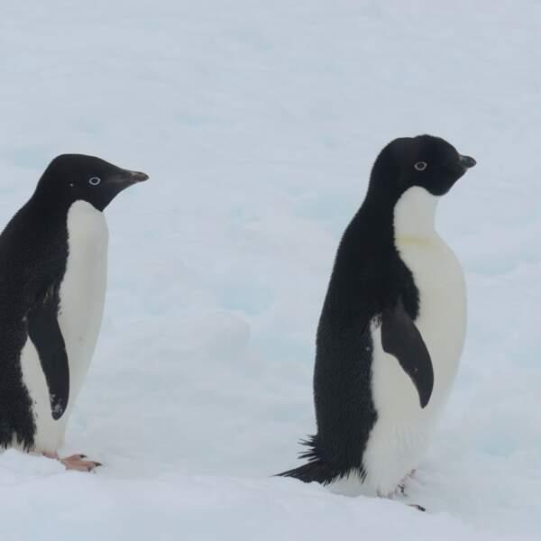 Manchots en Antarctique par José Leval / Communauté GEO