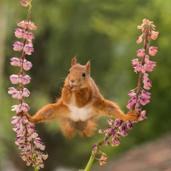 Ecureuil roux dans les lupins, Suède