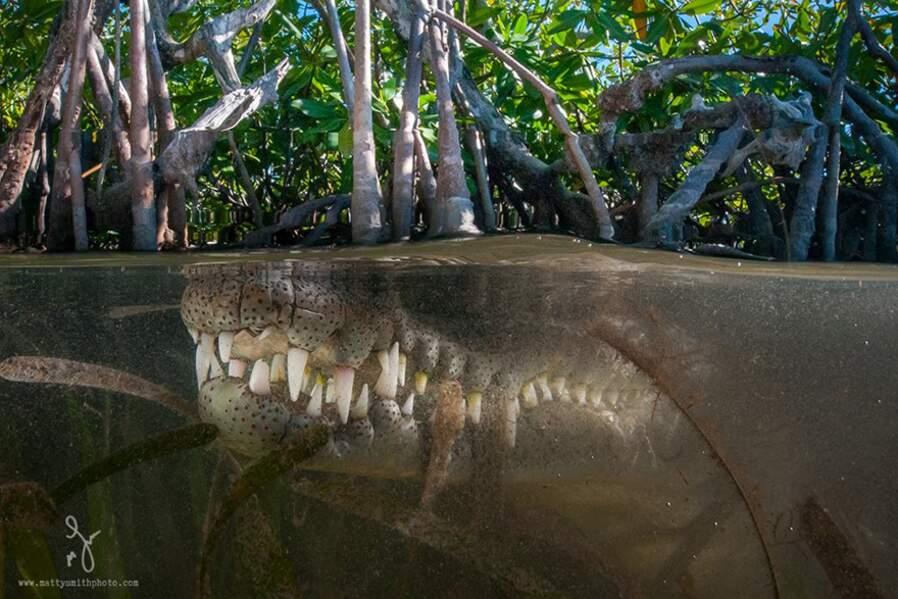Crocodile américain dans l'archipel cubain des Jardines de la Reina