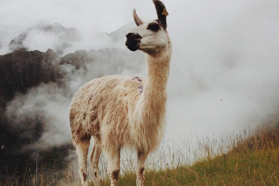 Le lama, symbole du Pérou